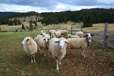Group of Sheep on a Pasture in Mountain photo