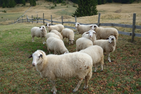tara: Group of Sheep on a Pasture in Mountain