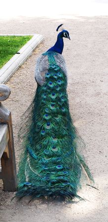 Peacock with the closed tail Stock Photo - 5930881
