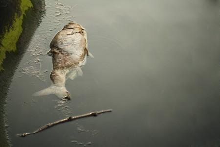 toxic water: Dead fish