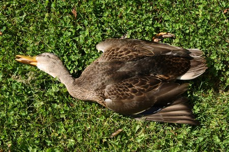 dead duck: dead duck Stock Photo