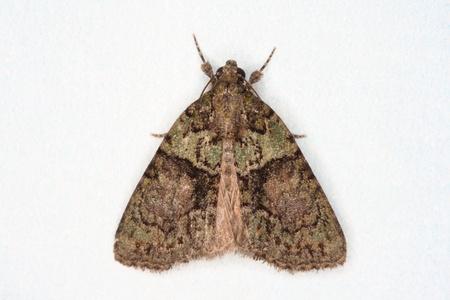 Moth, Arbre à lichens Beauté Cryphia algues