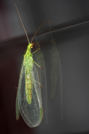 Green lacewing  Chrysoperla carnea  photo