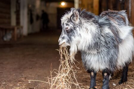A young goat in a barn takes hay for food