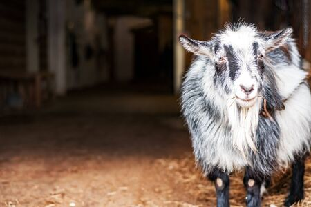 One young goat in the barn takes hay for food