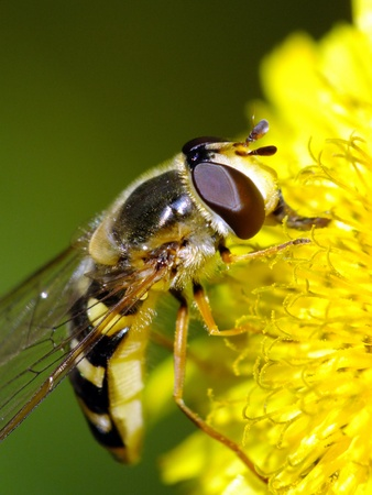 Hoverfly Macro on yellow flower