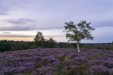 Late summer heather in bloom at Rockford Common in the New Forest  Stock Photo - 16953439