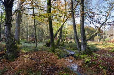 A brook winds its way through ancient woodland at Bolderwood in the New Forest National Park