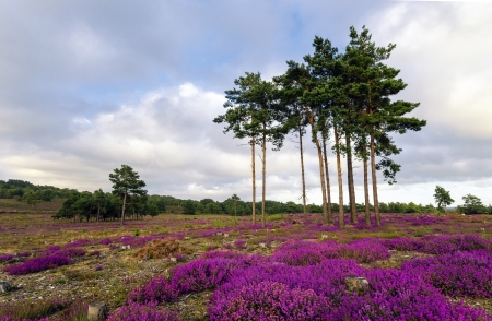scots pine: Scots Pine trees and heather in bloom at Arne in Dorset  Stock Photo
