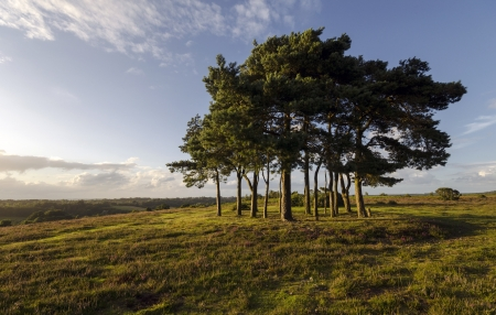 tree disc: Robin hoods clump a group of Scots Pine trees in the New Forest planted on top of a Neolithic disc barrow