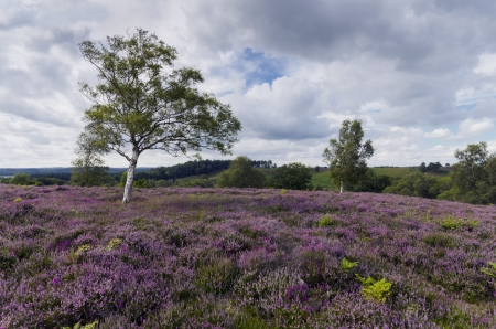 Purple heather in bloom at Rockford Common in the New Forest in Hampshire