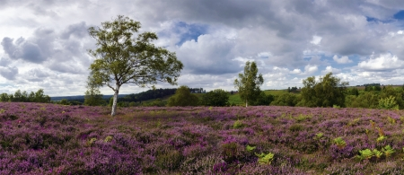 Purple heather in bloom at Rockford Common in the New Forest in Hampshire  Wide format panorama also suitable for as a header or slide show image