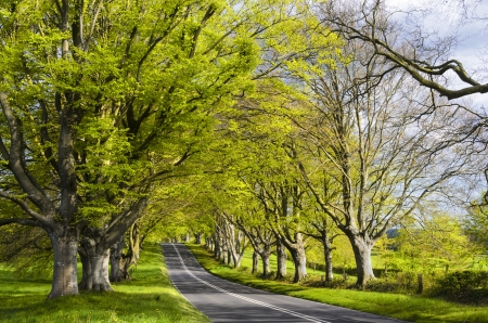 lacey: An avenue of ancient beech trees at Badbury Rings  Kingston Lacey in Dorset Stock Photo
