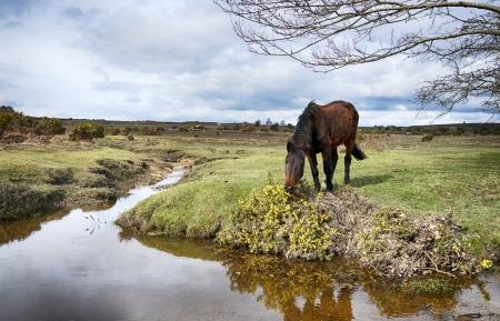 hampshire: Un caballo pastando en aulagas en Dockens agua en el Parque Nacional de New Forest, en Hampshire