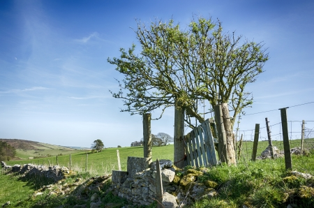 walling: A gnarled Hawthorn tree and drystone walling in near Dorchester in Dorset