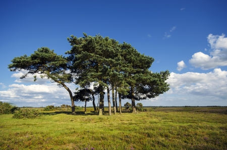 Scots Pine trees at Robin Hoods Clump in the new forest, the trees are planted on top of an ancient  Bronze Age disc barrow. Stock Photo