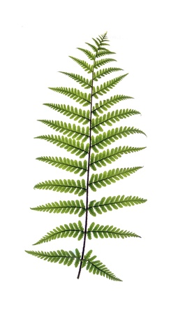 revel: Fern frond backlit to revel veins and isolated on a white background Stock Photo