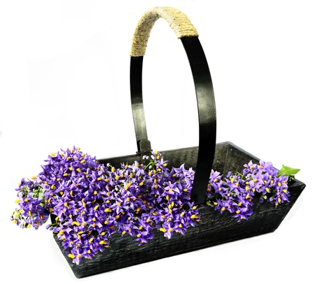 tradional: Wooden gardening trug filled with Potato vine (Solanum crispum) blossoms