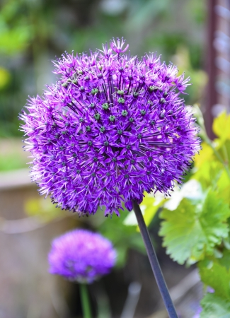 Allium flower globes, a flowering ornamental onion. photo