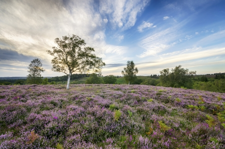 betula pendula: Heather in bloom in the New Forest Stock Photo