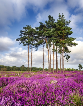 Scots Pine trees and bell heather  Erica cinerea  in bloom at Arne in Dorset  Stock Photo