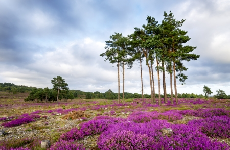 erica: Scots Pine trees and bell heather  Erica cinerea  in bloom at Arne in Dorset  Stock Photo