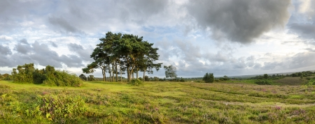 new age: Scots Pine trees at Robin Hoods Clump in the new forest, the trees are planted on top of an ancient  Bronze Age disc barrow. Stock Photo