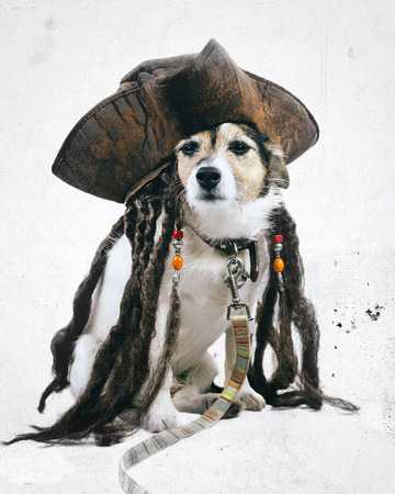 Vintage effect Jack Russell dog wearing pirate hat