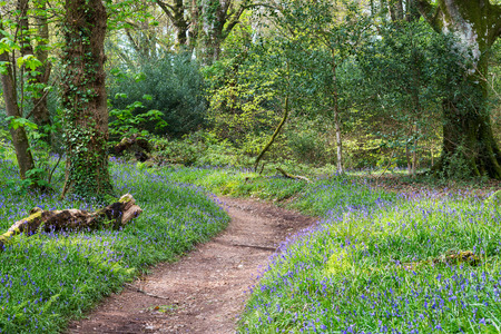 Spring bluebells in bloom in mature woodland photo