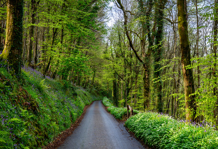 A country lane at Duloe in Cornwall lined with bluebells and wild garlic photo