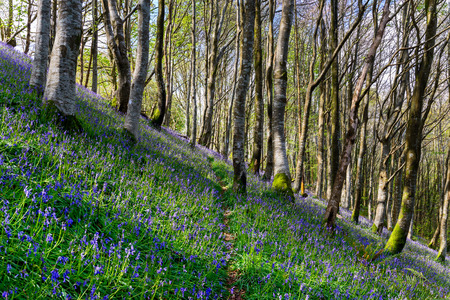 Native Bluebells growing on a steep wooded hillside in Cornwall photo