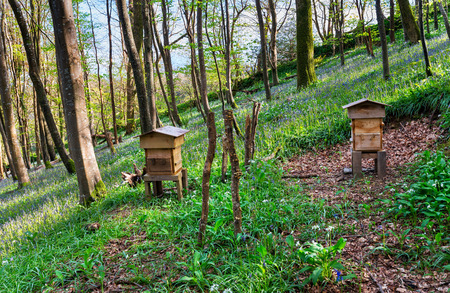 Traditional wooden beehives in a beautiful Bluebell wood photo