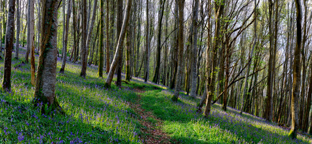 Panoramic view of beautiful ancient Beech woods with a carpet of native Bluebells - Hyacinthoides non-scripta and a winding forest path photo