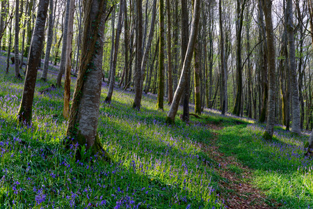 bluebell woods: Magical native Bluebell woods in Cornwall Stock Photo