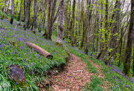 Path leading through a magical Bluebell wood in Cornwall photo