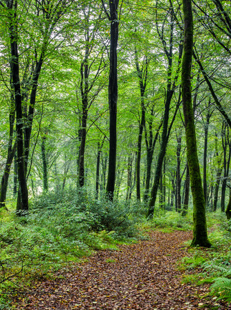lanhydrock: Path leading through forest at Hart Woods in Conrwall