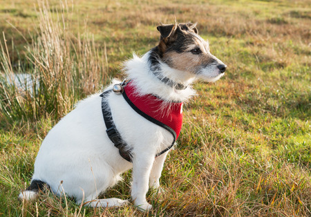 Working Parson Jack Russell Terrier wearing red harness and bell