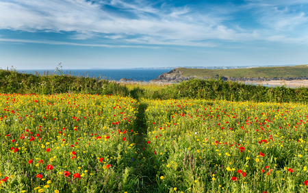 papaver: Path leading through a wildflower meadow on cliffs above Crantock Beach at West Pentire near Newquay in Cornwall