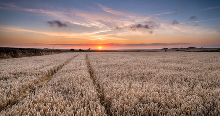 A barley field at sunset near Padstow in Cornwall photo