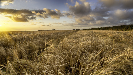 A field of golden ripe barley in the Cornish countryside photo