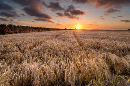 A field of golden ripe barley in the Cornish countryside near Padstow photo