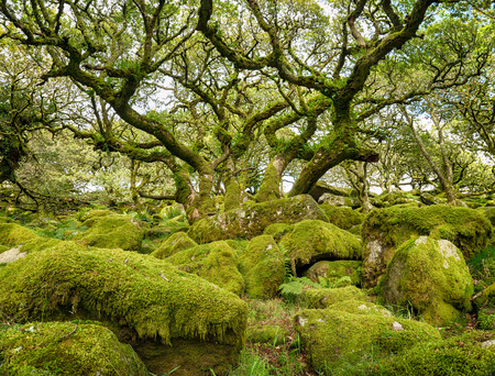 Ancient gnarled and stunted oak tree trunks growing out of mossy boulders in the famous Wistmans Wood a remote high altitude oakwood and a national nature reserve on Dartmoor National Park in Devon photo