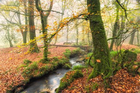 bodmin: Misty Autumn woodland and stream at Golitha Falls on Bodmin Moor in Cornwall