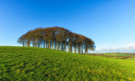 A copse of Beech trees on top of a hill on the devon and Cornwall border photo