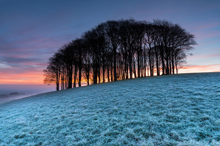 copse: Small copse of beech trees on a hill near Lifton in Devon