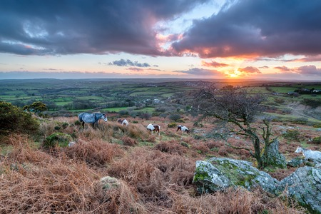 bodmin: Moorland ponies at sunset on Caradon Hill near the Minions on Bodmin Moor in Cornwall Stock Photo