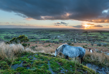 bodmin: Moorland ponies grazing at sunset on Caradon Hill on Bodmin Moor in Cornwall