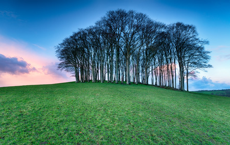 A small copse of Beech trees on a hill near Lifton on the Devon and Cornwall border