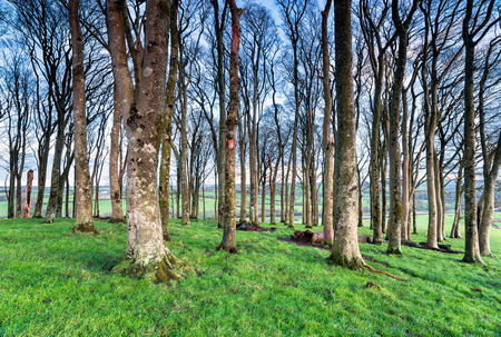 copse: A copse of bare winter beech trees near Lifton in devon