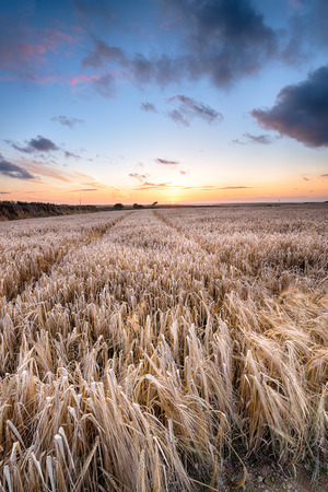 Fields of ripening Barley grain under a sunset sky near Padstow in Cornwall photo
